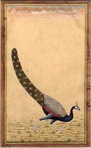 A_Peacock